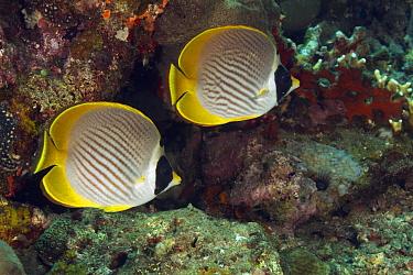 Eyepatch Butterflyfish (Chaetodon adiergastos) pair, Bali, Indonesia  -  Norbert Wu