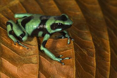 Green And Black Poison Dart Frog (Dendrobates auratus), Osa Peninsula, Costa Rica  -  Suzi Eszterhas