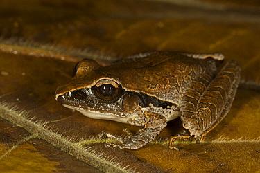 Tilaran Robber Frog (Craugastor mimus), northern Costa Rica  -  Suzi Eszterhas