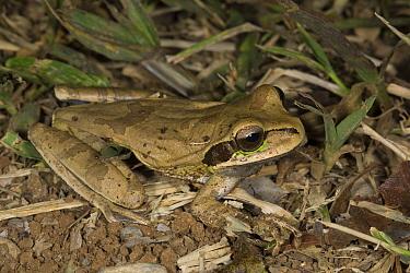 Tarraco Treefrog (Smilisca phaeota), Osa Peninsula, Costa Rica  -  Suzi Eszterhas