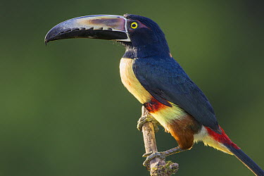Collared Aracari (Pteroglossus torquatus), northern Costa Rica  -  Suzi Eszterhas