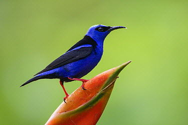 Red-legged Honeycreeper (Cyanerpes cyaneus) male, northern Costa Rica  -  Suzi Eszterhas