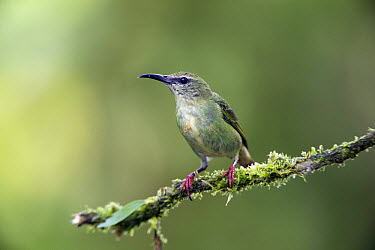 Red-legged Honeycreeper (Cyanerpes cyaneus) female, northern Costa Rica  -  Suzi Eszterhas