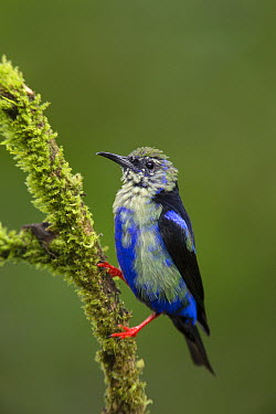 Red-legged Honeycreeper (Cyanerpes cyaneus) immature male, northern Costa Rica  -  Suzi Eszterhas