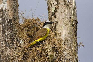 Great Kiskadee (Pitangus sulphuratus) at nest, Osa Peninsula, Costa Rica  -  Suzi Eszterhas