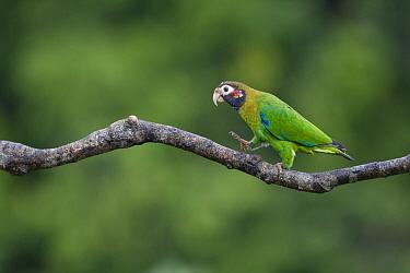 Brown-hooded Parrot (Pyrilia haematotis) walking on branch, northern Costa Rica  -  Suzi Eszterhas