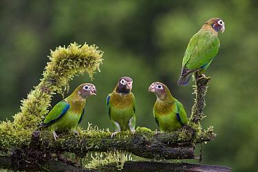 Brown-hooded Parrot (Pyrilia haematotis) group, northern Costa Rica  -  Suzi Eszterhas