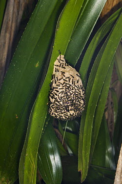 Wasp (Polybia sp) group on nest, Osa Peninsula, Costa Rica  -  Suzi Eszterhas