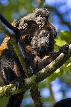 Mantled Howler Monkey (Alouatta palliata) mother and baby, Osa Peninsula, Costa Rica  -  Suzi Eszterhas