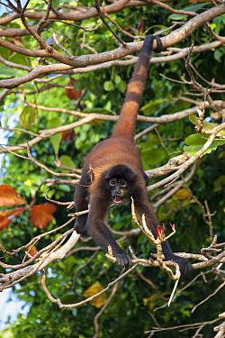 Black-handed Spider Monkey (Ateles geoffroyi) male calling, Osa Peninsula, Costa Rica  -  Suzi Eszterhas