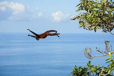 Black-handed Spider Monkey (Ateles geoffroyi) leaping from tree, Osa Peninsula, Costa Rica  -  Suzi Eszterhas