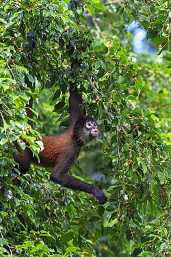 Black-handed Spider Monkey (Ateles geoffroyi) in tree, Osa Peninsula, Costa Rica  -  Suzi Eszterhas