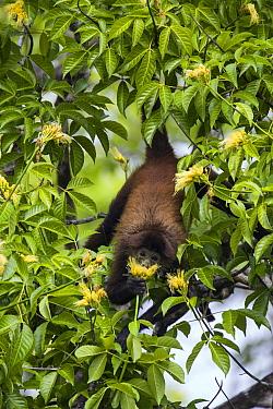 Black-handed Spider Monkey (Ateles geoffroyi) feeding on flower nectar, Osa Peninsula, Costa Rica  -  Suzi Eszterhas