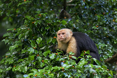 White-faced Capuchin (Cebus capucinus) male, Osa Peninsula, Costa Rica  -  Suzi Eszterhas