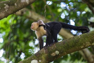 White-faced Capuchin (Cebus capucinus) mother and newborn baby in tree, Osa Peninsula, Costa Rica  -  Suzi Eszterhas