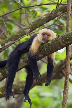 White-faced Capuchin (Cebus capucinus) resting in tree, Osa Peninsula, Costa Rica  -  Suzi Eszterhas