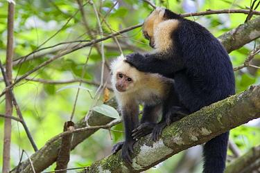 White-faced Capuchin (Cebus capucinus) pair grooming, Osa Peninsula, Costa Rica  -  Suzi Eszterhas