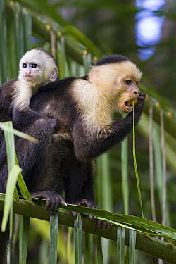 White-faced Capuchin (Cebus capucinus) mother with baby feeding on palm fruit, Osa Peninsula, Costa Rica  -  Suzi Eszterhas