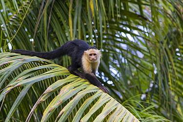 White-faced Capuchin (Cebus capucinus) in palm tree, Osa Peninsula, Costa Rica  -  Suzi Eszterhas