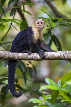 White-faced Capuchin (Cebus capucinus), Osa Peninsula, Costa Rica  -  Suzi Eszterhas