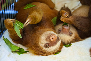 Hoffmann's Two-toed Sloth (Choloepus hoffmanni) orphaned babies eating almond tree leaves, Aviarios Sloth Sanctuary, Costa Rica  -  Suzi Eszterhas