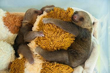 Hoffmann's Two-toed Sloth (Choloepus hoffmanni) orphaned babies clinging to stuffed animal toy, Aviarios Sloth Sanctuary, Costa Rica  -  Suzi Eszterhas