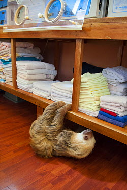 Hoffmann's Two-toed Sloth (Choloepus hoffmanni) rescued adult climbing shelves in nursery, Aviarios Sloth Sanctuary, Costa Rica  -  Suzi Eszterhas