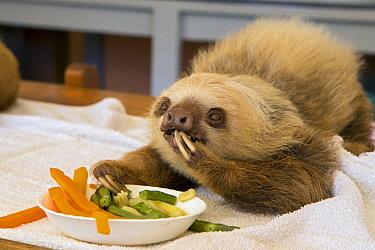Hoffmann's Two-toed Sloth (Choloepus hoffmanni) orphaned baby eating vegetables, Aviarios Sloth Sanctuary, Costa Rica  -  Suzi Eszterhas