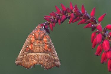 Herald Moth (Scoliopteryx libatrix) on Mountain Fleece (Persicaria amplexicaulis), Rijssen, Netherlands  -  Arjan Troost/ Buiten-beeld