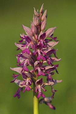 Military Orchid (Orchis militaris), Limburg, Netherlands  -  Klaas van Haeringen/ Buiten-beel