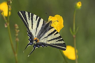 Scarce Swallowtail (Iphiclides podalirius) butterfly, La Brenne, France  -  Klaas van Haeringen/ Buiten-beel