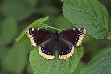 Mourning Cloak (Nymphalis antiopa) butterfly, Drenthe, Netherlands  -  Klaas van Haeringen/ Buiten-beel