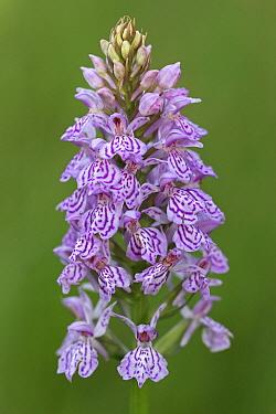 Heath Spotted Orchid (Dactylorhiza maculata), Eext, Netherlands  -  Klaas van Haeringen/ Buiten-beel