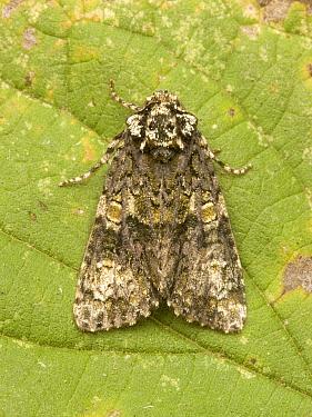 Coronet (Craniophora ligustri) moth on Stinging Nettle (Urtica dioica), Wirdum, Netherlands  -  Jaap Schelvis/ Buiten-beeld