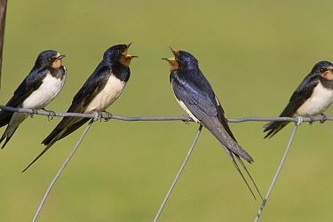Barn Swallow (Hirundo rustica) adult calling near youngsters, Terschelling, Netherlands  -  Arie Ouwerkerk/ Buiten-beeld