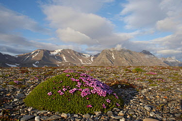 Moss Campion (Silene acaulis) on the tundra, Spitsbergen, Norway  -  Arjen Drost/ Buiten-beeld