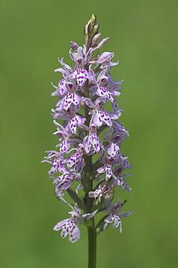 Common Spotted Orchid (Dactylorhiza fuchsii), Teutoburger Wald, Germany  -  Klaas van Haeringen/ Buiten-beel