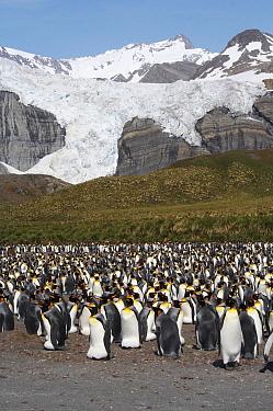 King Penguin (Aptenodytes patagonicus) colony, Gold Harbour, South Georgia Island  -  Arjen Drost/ Buiten-beeld
