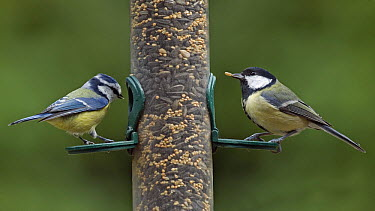 Great Tit (Parus major) and Blue Tit (Cyanistes caeruleus) at a peanut feeder, Maarssen, Netherlands  -  Ton Nagtegaal/ Buiten-beeld
