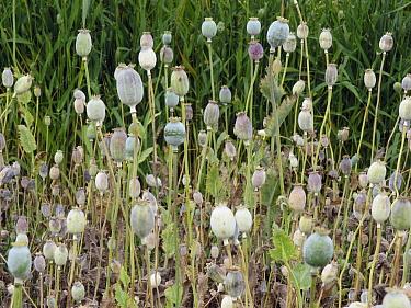 Opium Poppy (Papaver somniferum) seed heads, het Bildt, Netherlands  -  Hendrik van Kampen/ Buiten-beeld