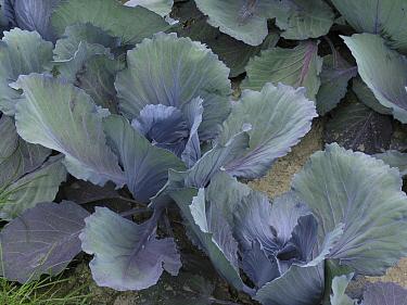 Cabbage (Brassica oleracea), het Bildt, Netherlands  -  Hendrik van Kampen/ Buiten-beeld