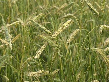 Common Wheat (Triticum aestivum), het Bildt, Netherlands  -  Hendrik van Kampen/ Buiten-beeld