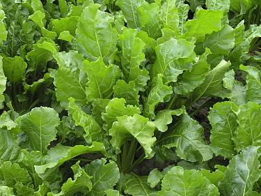Sugar Beet (Beta vulgaris) leaves, het Bildt, Netherlands  -  Hendrik van Kampen/ Buiten-beeld