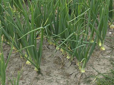 Onion (Allium cepa) crop, het Bildt, Netherlands  -  Hendrik van Kampen/ Buiten-beeld