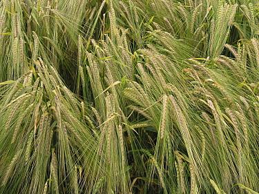 Common Wheat (Triticum aestivum) heads, het Bildt, Netherlands  -  Hendrik van Kampen/ Buiten-beeld