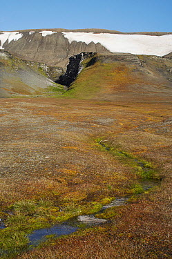 Tundra vegetation fertilized by bird guano, Spitsbergen, Norway  -  Arjen Drost/ Buiten-beeld