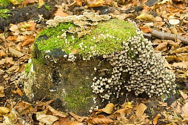 Trooping Crumble Cap Fungus (Coprinus disseminatus) mushrooms and Turkeytails (Trametes versicolor), Zeewolde, Netherlands  -  Jaap Schelvis/ Buiten-beeld