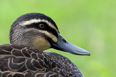 Pacific Black Duck (Anas superciliosa), Perth, Australia  -  Luc Hoogenstein/ Buiten-beeld