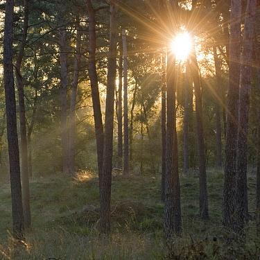 Sunrays through the forest, Oisterwijk, Netherlands  -  Ruud Peters/ Buiten-beeld