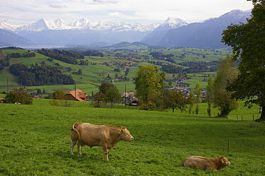 Domestic Cattle (Bos taurus) in farmland near the Eiger and the Jungfrau, Burgistein, Canton of Bern, Switzerland  -  Hannie Joziasse/ Buiten-beeld